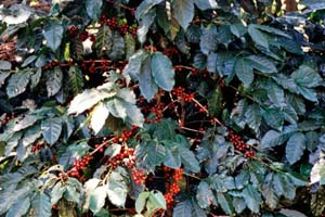 08-01-96 - Coffee harvest - coffee plant