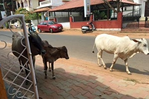 22-05-16 - Candolim Beach - holy, but hungry cows