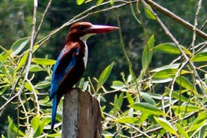 30-07-16 - Backwater tour in Poovar - Kingfisher